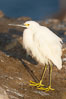 Snowy egret.  The snowy egret can be found in marshes, swamps, shorelines, mudflats and ponds.  The snowy egret eats shrimp, minnows and other small fish,  crustaceans and frogs.  It is found on all coasts of North America and, in winter, into South America. La Jolla, California, USA. Image #15296