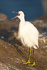 Snowy egret.  The snowy egret can be found in marshes, swamps, shorelines, mudflats and ponds.  The snowy egret eats shrimp, minnows and other small fish,  crustaceans and frogs.  It is found on all coasts of North America and, in winter, into South America. La Jolla, California, USA. Image #15297