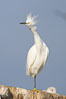 Snowy egret.  The snowy egret can be found in marshes, swamps, shorelines, mudflats and ponds.  The snowy egret eats shrimp, minnows and other small fish,  crustaceans and frogs.  It is found on all coasts of North America and, in winter, into South America. La Jolla, California, USA. Image #15298