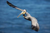 Brown pelican in flight.  The wingspan of the brown pelican is over 7 feet wide. The California race of the brown pelican holds endangered species status.  In winter months, breeding adults assume a dramatic plumage. La Jolla, California, USA. Image #15371
