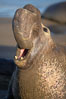 Bull elephant seal, adult male, bellowing. Its huge proboscis is characteristic of male elephant seals. Scarring from combat with other males.  Central California. Piedras Blancas, San Simeon, California, USA. Image #15387