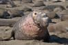 This bull elephant seal, an old adult male, shows extreme scarring on his chest and proboscis from many winters fighting other males for territory and rights to a harem of females.  Sandy beach rookery, winter, Central California. Piedras Blancas, San Simeon, California, USA. Image #15388