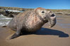 Bull elephant seal exits the water to retake his position on the beach.  He shows considerable scarring on his chest and proboscis from many winters fighting other males for territory and rights to a harem of females.  Sandy beach rookery, winter, Central California. Piedras Blancas, San Simeon, California, USA. Image #15458