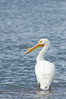 White pelican, breeding adult with fibrous plate on upper mandible of bill, Batiquitos Lagoon. Carlsbad, California, USA. Image #15651