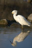 Snowy egret. Upper Newport Bay Ecological Reserve, Newport Beach, California, USA. Image #15666