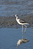 American avocet, forages on mud flats. Upper Newport Bay Ecological Reserve, Newport Beach, California, USA. Image #15681