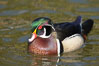 Wood duck, male. Santee Lakes, California, USA. Image #15691