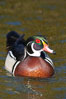 Wood duck, male. Santee Lakes, California, USA. Image #15694