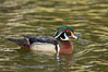 Wood duck, male. Santee Lakes, California, USA. Image #15698