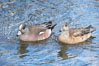American wigeon, male (left) and female (right). Santee Lakes, Santee, California, USA. Image #15742