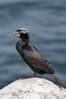 Double-crested cormorant, breeding plumage showing tufts. La Jolla, California, USA. Image #15745