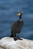 Double-crested cormorant, breeding plumage showing tufts. La Jolla, California, USA. Image #15748