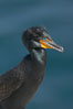Double-crested cormorant, breeding plumage showing tufts. La Jolla, California, USA. Image #15749