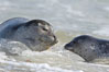 Pacific harbor seal, mother and pup. La Jolla, California, USA. Image #15750