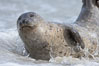Pacific harbor seal. La Jolla, California, USA. Image #15751