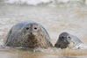 Pacific harbor seal, mother and pup. La Jolla, California, USA. Image #15752
