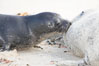 Pacific harbor seal, pup nursing. La Jolla, California, USA. Image #15755