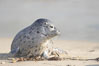 Pacific harbor seal pup. La Jolla, California, USA. Image #15761