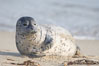 Pacific harbor seal pup. La Jolla, California, USA. Image #15762