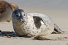Pacific harbor seal pup. La Jolla, California, USA. Image #15763