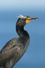 Double-crested cormorant, breeding plumage showing tufts. La Jolla, California, USA. Image #15784