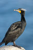 Double-crested cormorant, breeding plumage showing tufts. La Jolla, California, USA. Image #15787