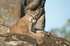 Mountain lion, Sierra Nevada foothills, Mariposa, California. Image #15793