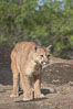 Mountain lion, Sierra Nevada foothills, Mariposa, California. Image #15797