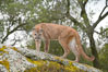 Mountain lion, Sierra Nevada foothills, Mariposa, California. Image #15799