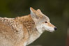 Coyote, Sierra Nevada foothills, Mariposa, California. Image #15870