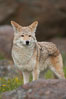 Coyote, Sierra Nevada foothills, Mariposa, California. Image #15872