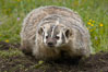 American badger.  Badgers are found primarily in the great plains region of North America. Badgers prefer to live in dry, open grasslands, fields, and pastures. Image #15947