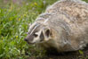 American badger.  Badgers are found primarily in the great plains region of North America. Badgers prefer to live in dry, open grasslands, fields, and pastures. Image #15949