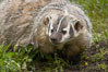 American badger.  Badgers are found primarily in the great plains region of North America. Badgers prefer to live in dry, open grasslands, fields, and pastures. Image #15950