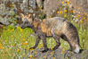 Cross fox, Sierra Nevada foothills, Mariposa, California.  The cross fox is a color variation of the red fox. Image #15961