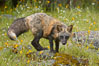 Cross fox, Sierra Nevada foothills, Mariposa, California.  The cross fox is a color variation of the red fox. Image #15962