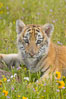 Siberian tiger cub, male, 10 weeks old. Image #15990