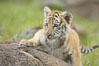 Siberian tiger cub, male, 10 weeks old. Image #15991