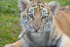 Siberian tiger cub, male, 10 weeks old. Image #15995
