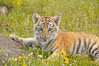 Siberian tiger cub, male, 10 weeks old. Image #15996