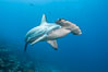 Scalloped hammerhead shark swims over a reef in the Galapagos Islands.  The hammerheads eyes and other sensor organs are placed far apart on its wide head to give the shark greater ability to sense the location of prey. Wolf Island, Galapagos Islands, Ecuador. Image #16246