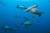 Hammerhead sharks swim in a school underwater at Wolf Island in the Galapagos archipelago.  The hammerheads eyes and other sensor organs are placed far apart on its wide head to give the shark greater ability to sense the location of prey. Wolf Island, Galapagos Islands, Ecuador. Image #16271