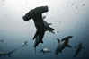 Hammerhead sharks, schooling, black and white / grainy. Wolf Island, Galapagos Islands, Ecuador. Image #16272