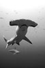 Scalloped hammerhead shark, black and white / grainy. Wolf Island, Galapagos Islands, Ecuador. Image #16279
