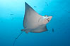 Spotted eagle ray. Wolf Island, Galapagos Islands, Ecuador. Image #16332