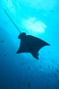 Spotted eagle ray. Wolf Island, Galapagos Islands, Ecuador. Image #16336