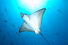 Spotted eagle ray. Wolf Island, Galapagos Islands, Ecuador. Image #16337