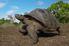 Galapagos tortoise, Santa Cruz Island species, highlands of Santa Cruz island. Galapagos Islands, Ecuador. Image #16479