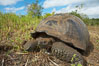 Galapagos tortoise, Santa Cruz Island species, highlands of Santa Cruz island. Galapagos Islands, Ecuador. Image #16482