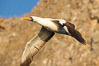 Nazca booby in flight. Wolf Island, Galapagos Islands, Ecuador. Image #16529